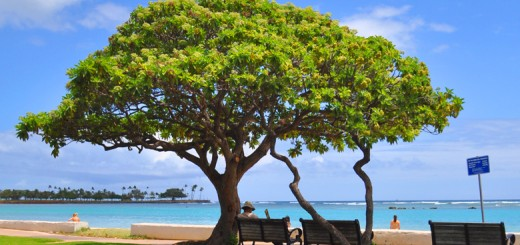hawaii_tree